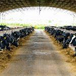 NutiFood vận hành trang trại bò sữa Nutimilk tại Gia Lai